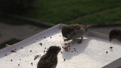 pugnacious sparrow Stock Video Footage