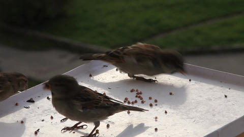pugnacious sparrow Stock Video Footage