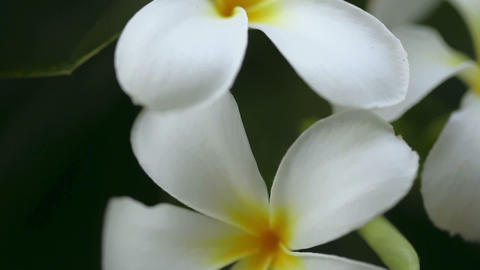 Plumeria Stock Video Footage