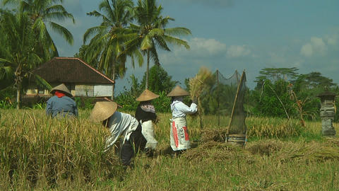 Rice farmers Stock Video Footage
