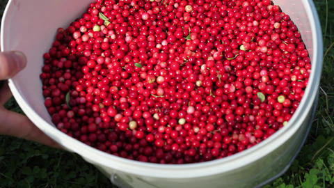 bucket of cowberry Stock Video Footage