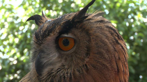 eagle owl close up 02 Stock Video Footage