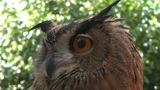 eagle owl close up 02 Footage
