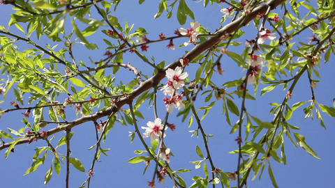 Almond flowers 02 Stock Video Footage