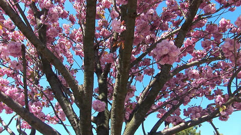 flowering tree a Stock Video Footage