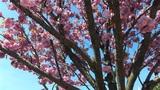 flowering tree a Footage
