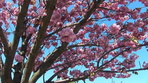 flowering tree a Footage