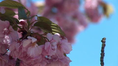 flowering tree c Stock Video Footage