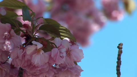 flowering tree c Stock Video Footage
