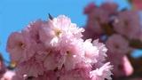 flowering tree c Footage