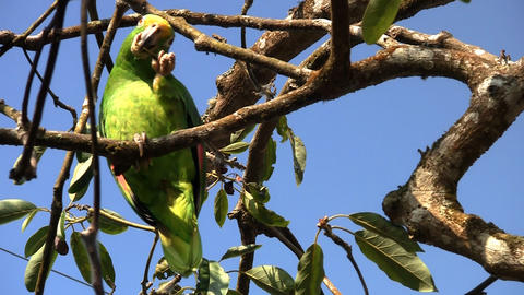 Parrot 06 Stock Video Footage