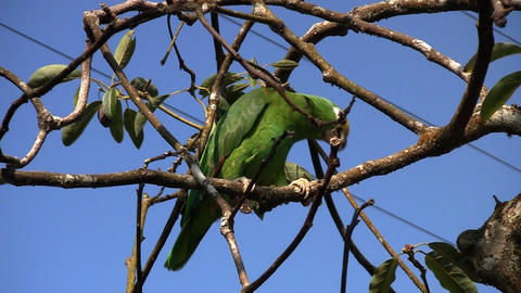 Parrot 04 Stock Video Footage