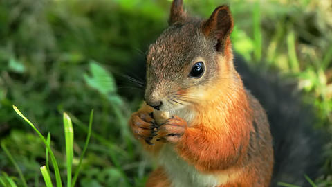 Squirrel lunching Stock Video Footage