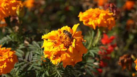 Autumn Orange Flowers Stock Video Footage