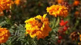 Autumn Orange Flowers Footage