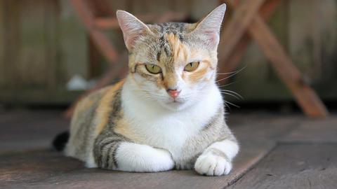 Cat lying on the wooden floor Filmmaterial