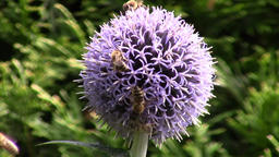 Echinops flower and bees in the garden Footage
