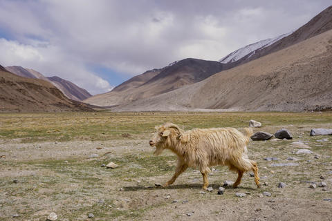 Kashmir goat in beautiful landscape with snow peaks background,North India フォト
