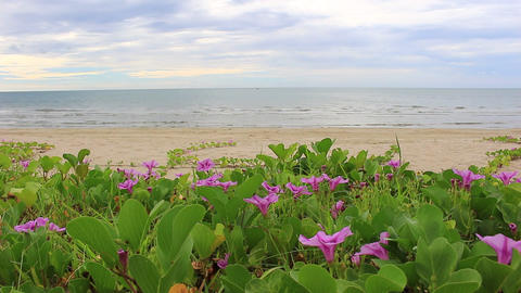 Ipomoea pes-caprae on the beach Footage
