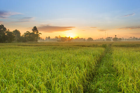 Rice Field in the Morning Foto