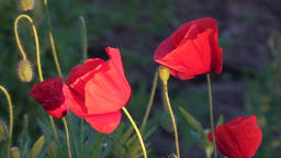 Poppies Flowers Background Video Footage