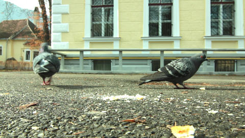 Pigeons eating bread close up. Two pigeons in the park on a driveway, find bread Footage