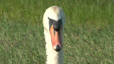 Swan Close Up Footage