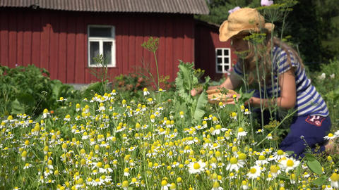 girl reap small medicine camomile in summer garden near home. 4K Live Action