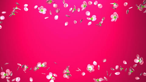 Cherry Blossoms On Pink Background Animation
