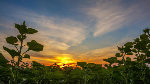 Dawn over Green Sunflowers. Time Lapse Footage