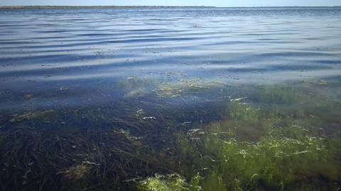 The thickets near the shore of a seaweed flowering plant of Zostera and seaweed  Image
