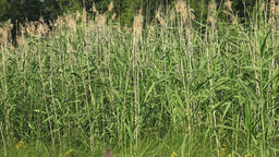 Wetland plants - swamp vegetation young reed plant concept Footage