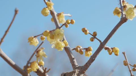Flowers of Winter sweet,in Showa Memorial Park,Tokyo,Japan,Filmed in 4K ビデオ
