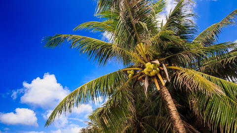Wind Shakes Branches of Palm with Coconuts against Blue Sky Footage