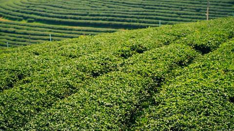 Tea plantation ビデオ