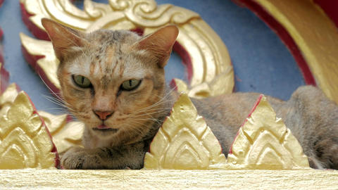 cute stray cat in buddhist temple in thailand Footage