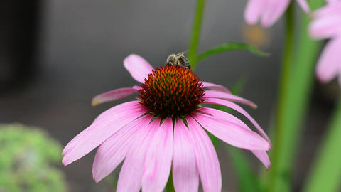 Bee pollinating a flower Live Action