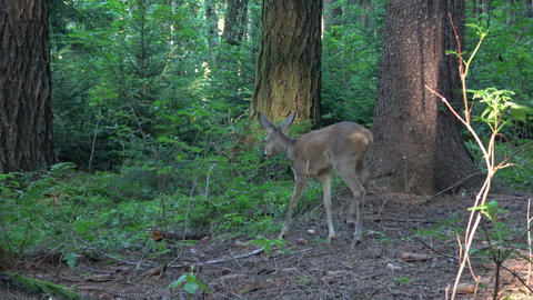 Startled young mule deer running off in a woodland clearing Image
