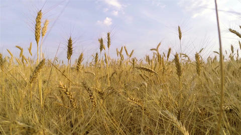 Steps on the wheat field 4 Footage