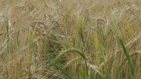 Yellow grain ready for harvest growing in a farm field Image