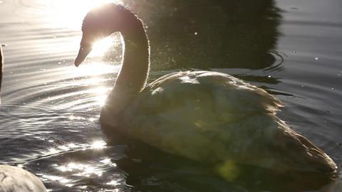 Swan swimming Footage