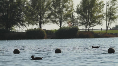 Ducks in lake Footage
