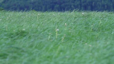 Grass blades Footage