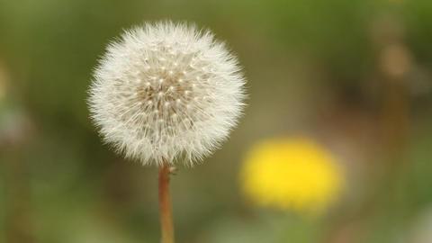 Dandelion Footage