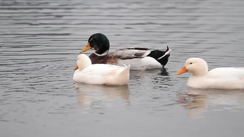 Ducks Footage