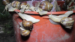 A herd of snails climbing a red wall in an attempt to escape from the trap 8 Live Action
