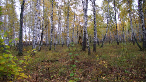 Autumn birch forest, panorama Live Action