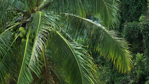 Coconut palm_4K Footage