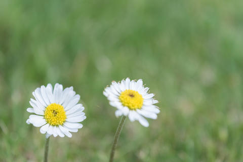 Two daisies on a garden フォト