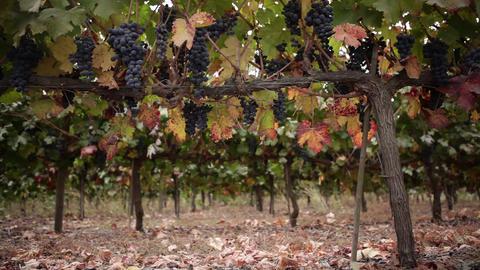 Vineyard low-angle medium Footage